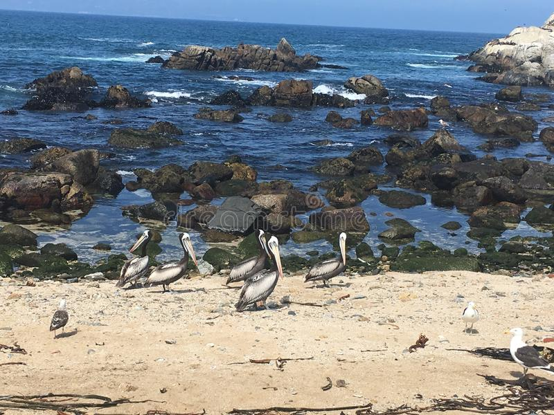Pelikaanvalparaiso stock afbeeldingen