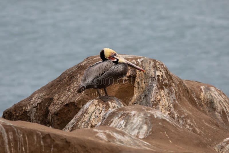Pelikaanvogel die zich op de rotsen in het Strand van La Jolla, San Diego, Californië bevinden stock fotografie