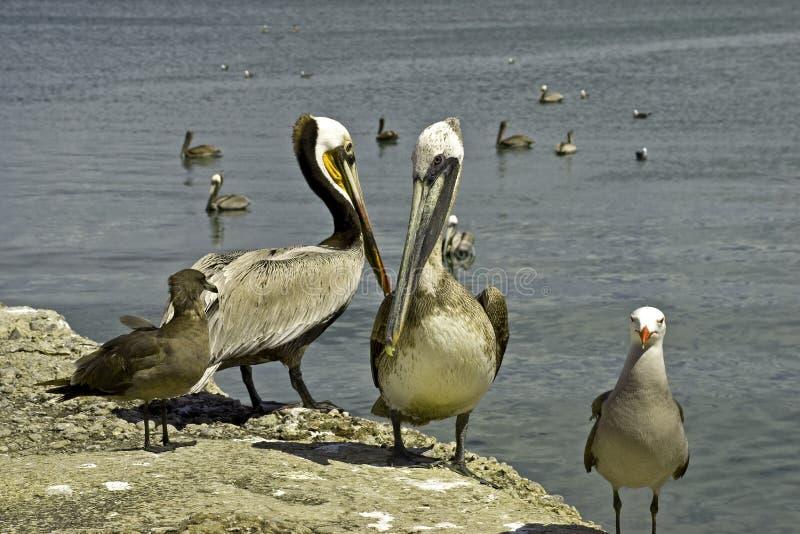 pelikanów seagulls seashore obraz stock