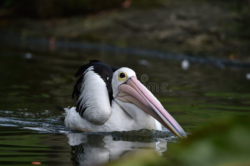 Pelikan är vattenfåglar, som har påsar under deras näbb, svarta vingar, med vita kroppar royaltyfri foto