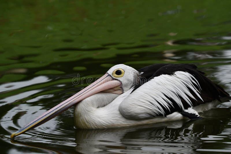 Pelikan är vattenfåglar, som har påsar under deras näbb, svarta vingar, med vita kroppar royaltyfri bild