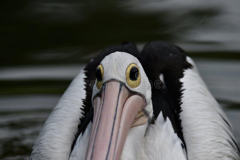 Pelikan är vattenfåglar, som har påsar under deras näbb, svarta vingar, med vita kroppar arkivbilder
