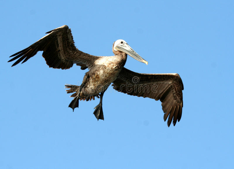Pelikan fotografia stock