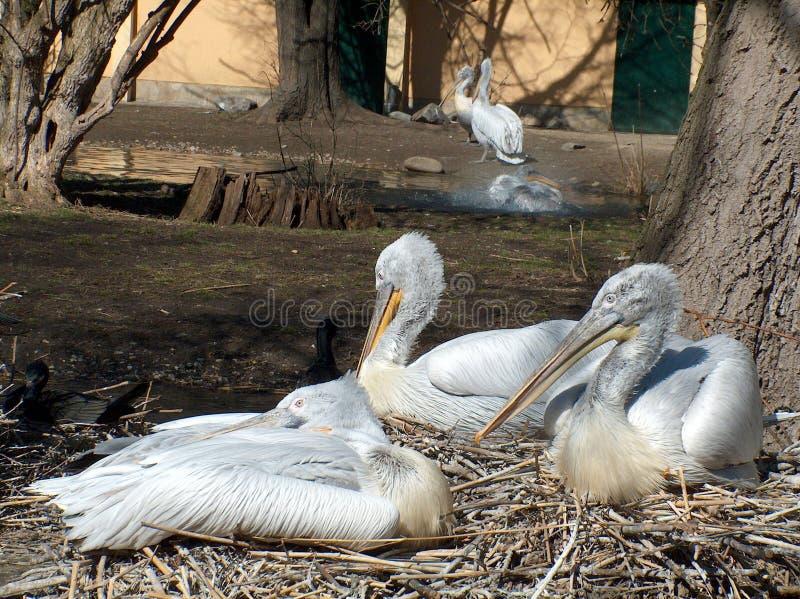 Download Pelikan ilustracji. Ilustracja złożonej z pelikan, dziecko - 126603