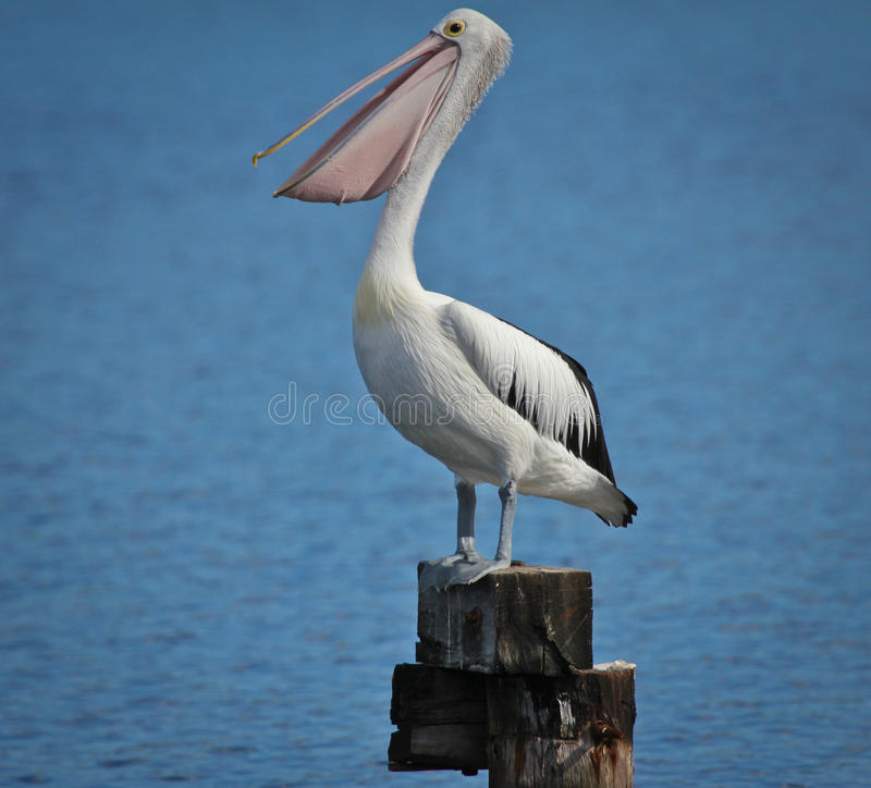 Download Pelikan stock photo. Image of feather, photos, head, beautiful - 20033224