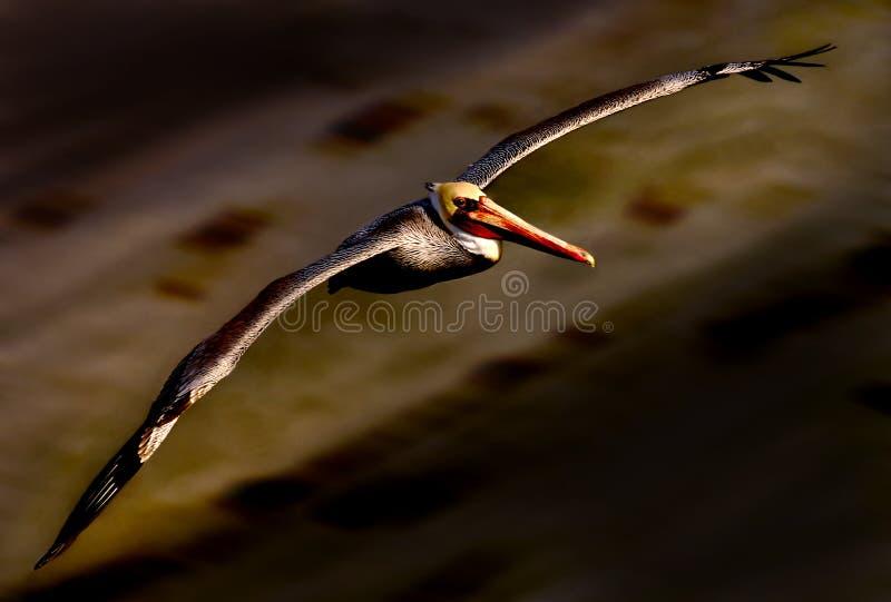 Pelikan 21 lizenzfreie stockbilder