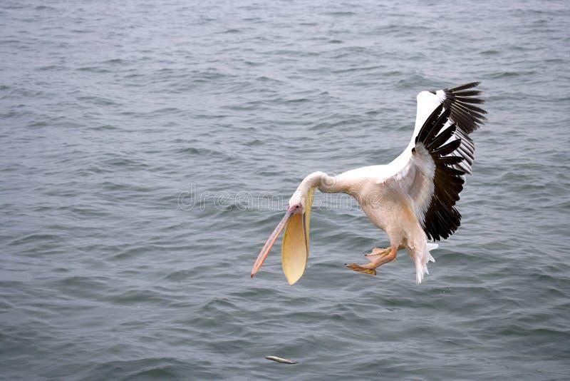 Pelikan fotografia de stock
