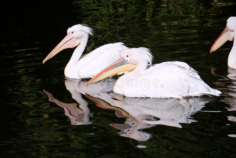 Pelikan obrazy royalty free