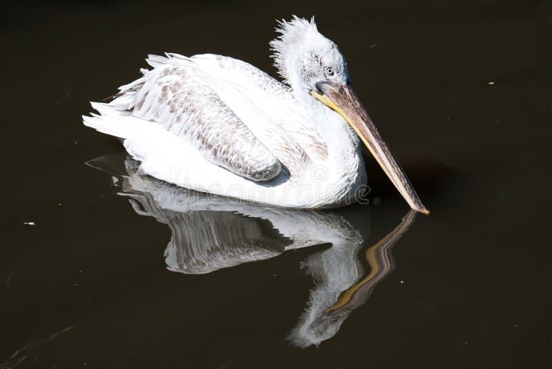 Pelikan obraz stock