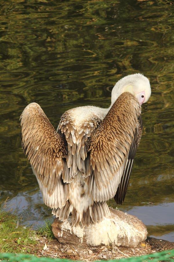 Pelikan. fotografia royalty free