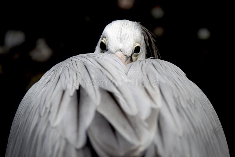 Pelikan стоковые изображения rf