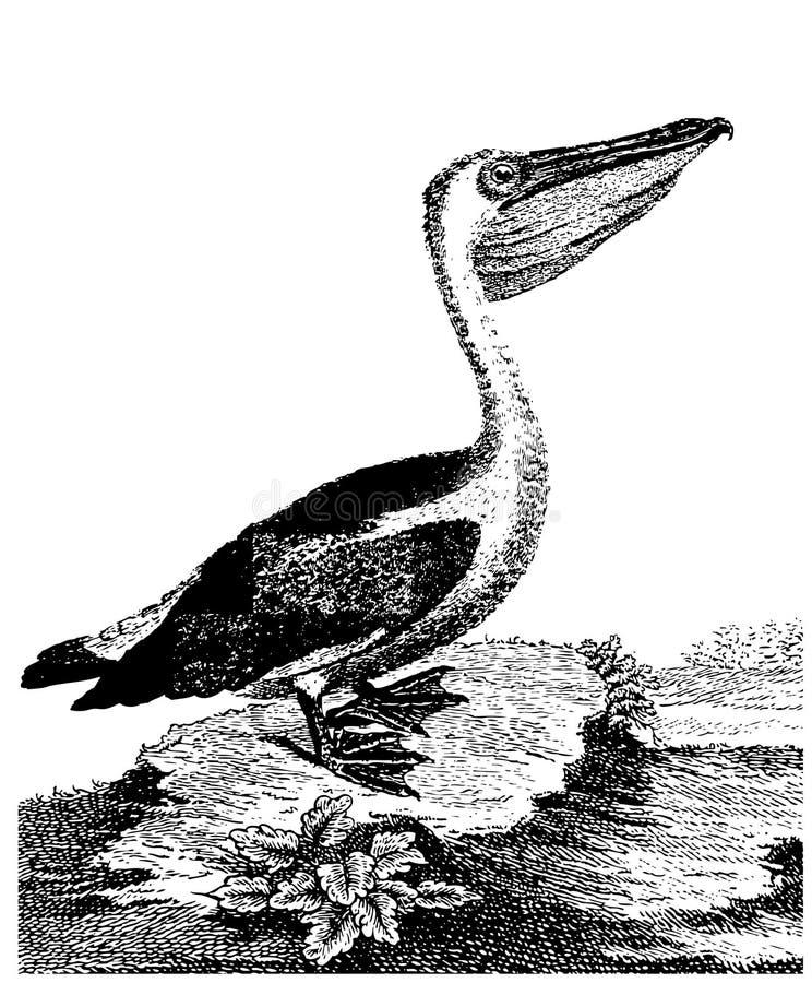 pelikan royalty ilustracja
