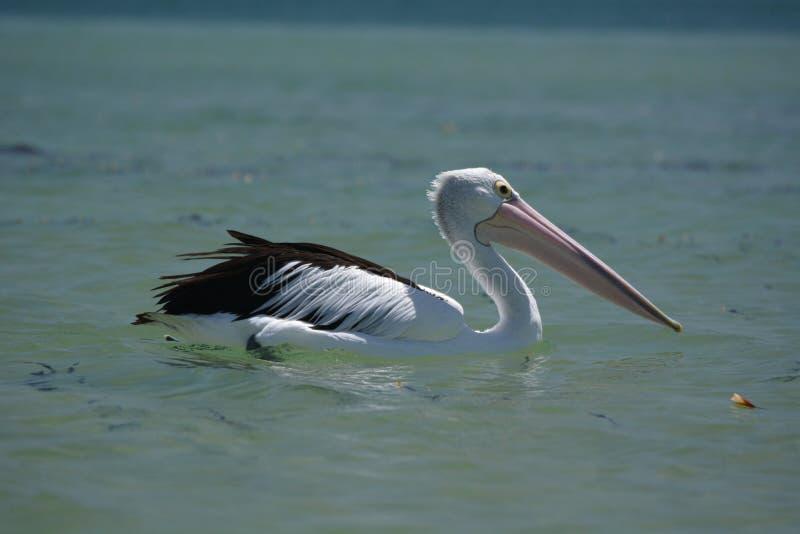 pelikan Apa Mia Hajfjärd Västra Australien arkivbilder