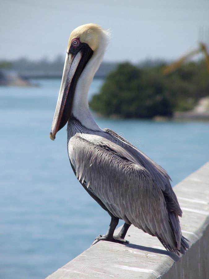 Download Pelikan auf Brücke stockfoto. Bild von tiere, taste, vögel - 28244