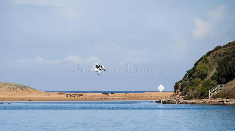 Pelikan auf dem Fluss stockfoto