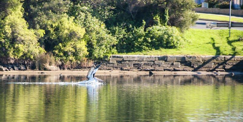 Pelikan auf dem Fluss stockbilder