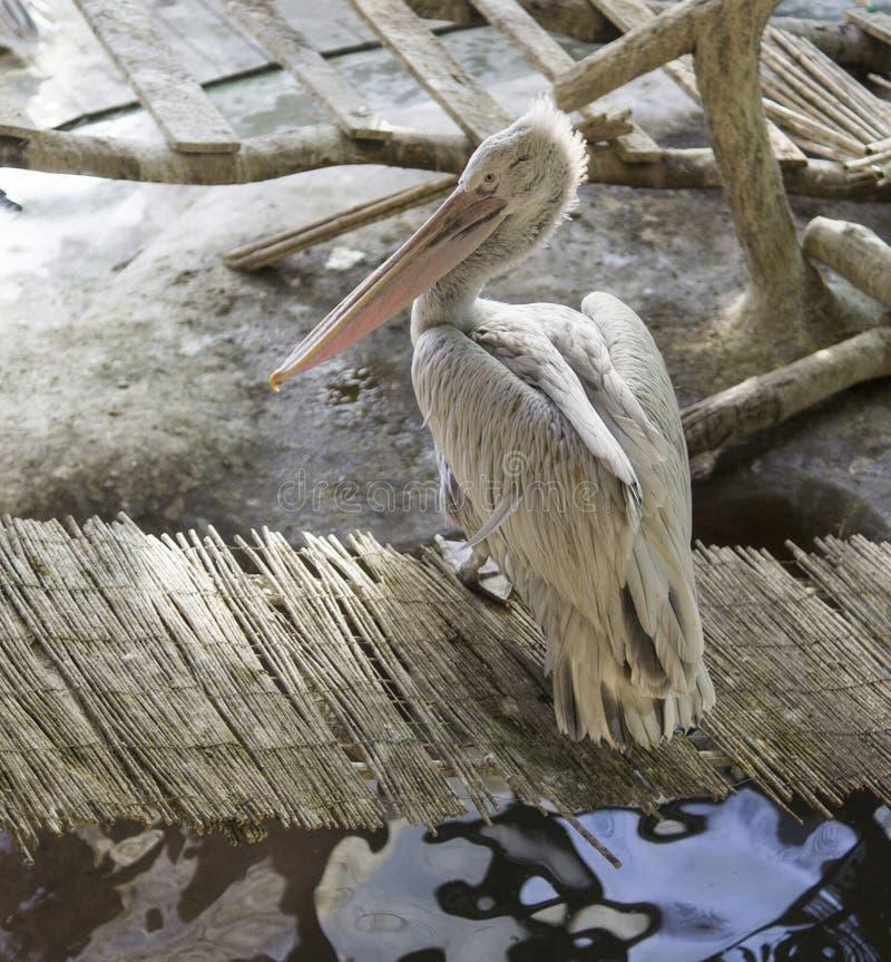 Pelikan auf der Bambusbrücke Tiere, wild lebende Tiere stockfotografie