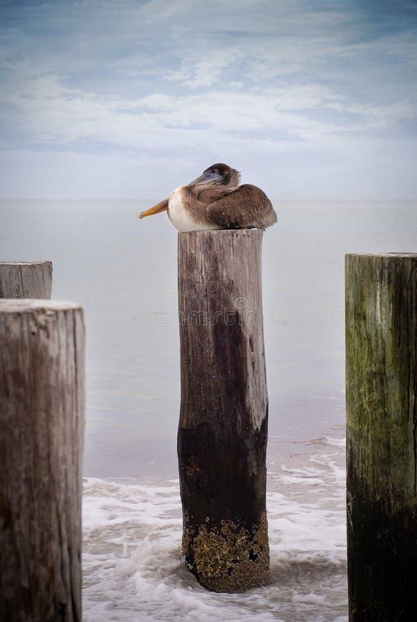 Pelikan auf einem Steuerknüppel stockbild