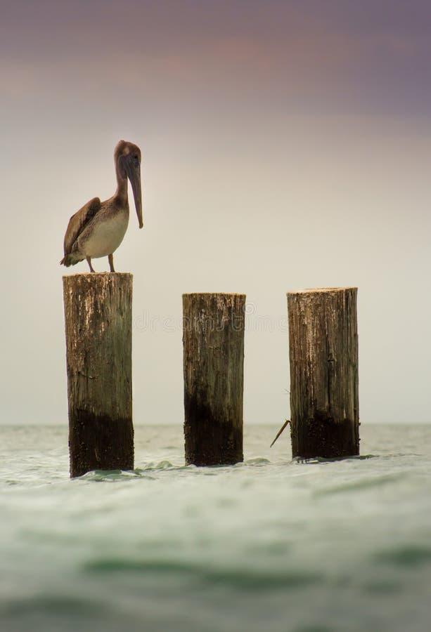 Pelikan auf hölzernem Beitrag lizenzfreie stockbilder