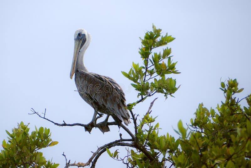 Pelikan auf Mangrovenniederlassung stockbilder