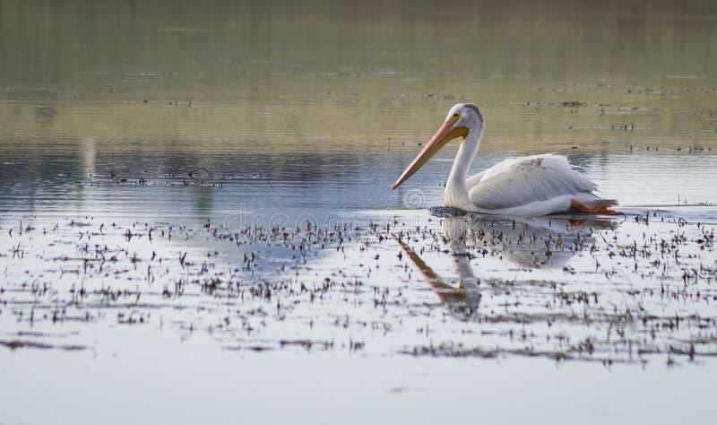 Pelikan auf See stockfotografie