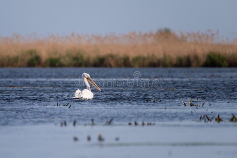 Pelikan auf See von in Donau-Delta, Vogelbeobachtung Rumänien-wild lebender Tiere stockfotografie