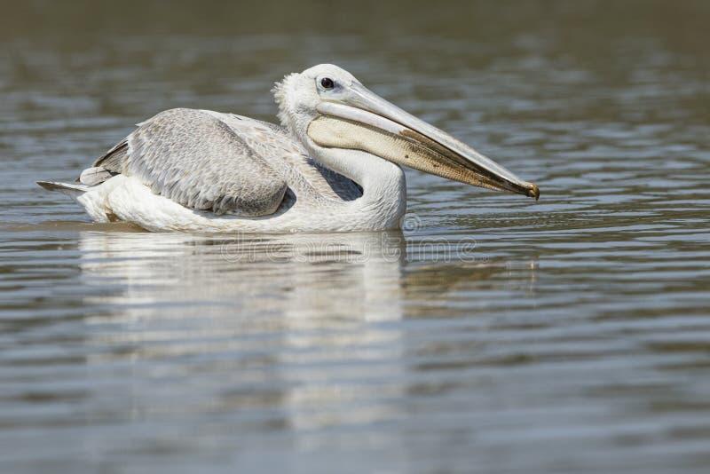 Pelikan bevattnar på royaltyfria bilder