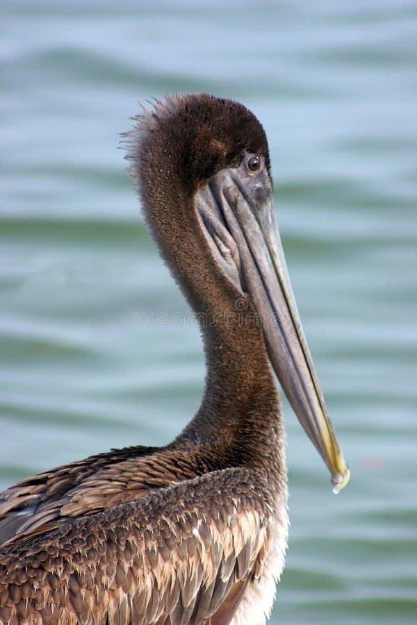 Download Pelikan brown obraz stock. Obraz złożonej z woda, ptak - 130191