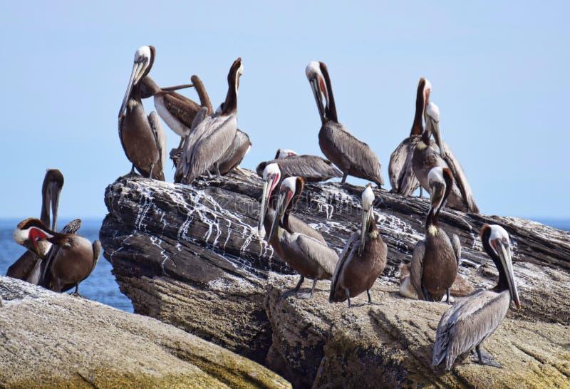 Pelikan clony Corona Island, Loreto Baja California Mexico arkivfoto