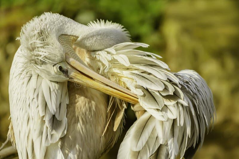 Pelikan czyści swój piórka przed zmierzchem obraz stock