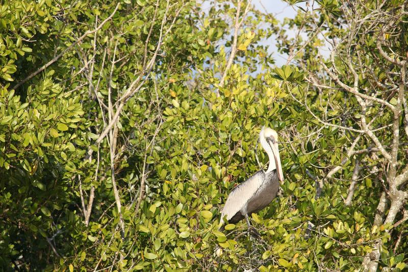 Pelikan in den Florida-Sumpfgebieten stockfoto