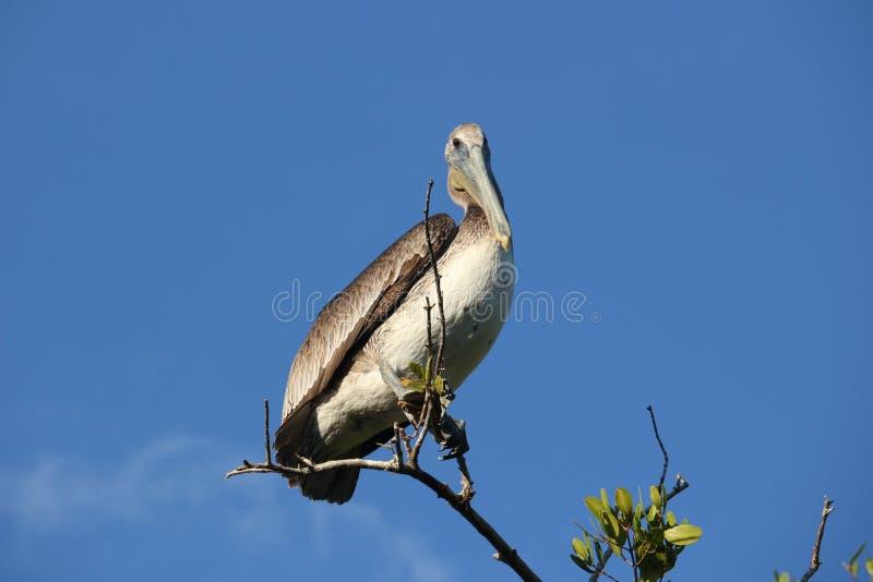 Pelikan in den Florida-Sumpfgebieten lizenzfreies stockbild