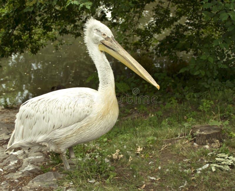 Pelikan in den wild lebenden Tieren stockfotografie