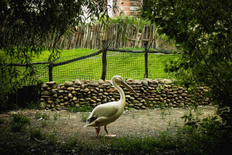 Pelikan! Denna fågel är olik från andra former av näbb royaltyfria bilder