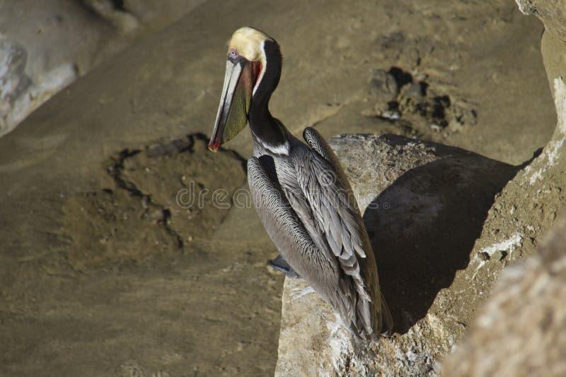 Pelikan, der auf den Felsen sitzt lizenzfreie stockfotografie