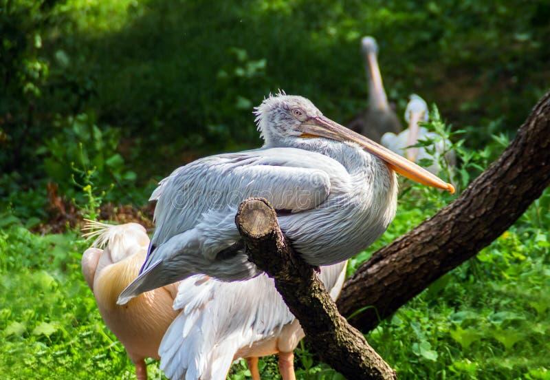 Pelikan, der auf Niederlassung in Prag-Zoo sitzt stockfoto