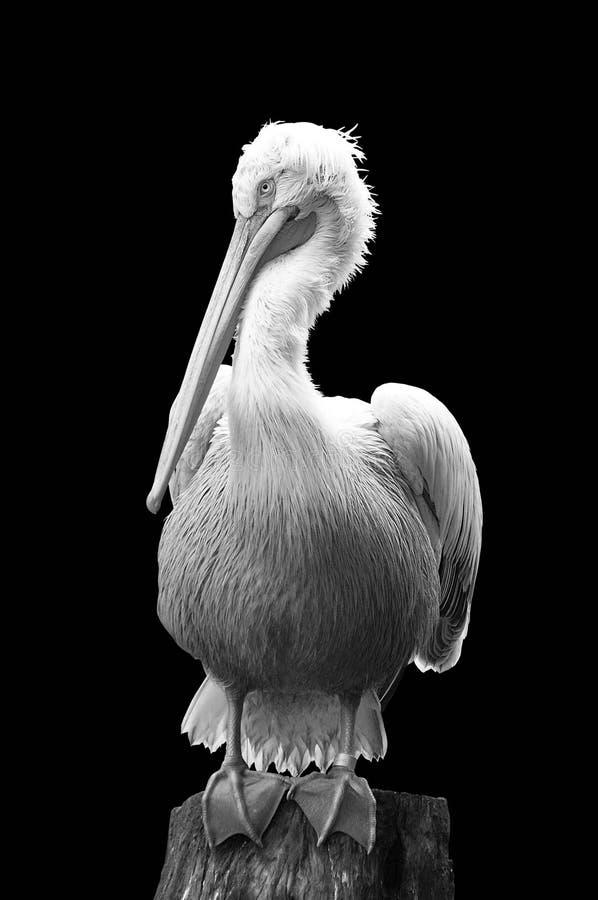 Pelikan, der auf Stamm auf schwarzem Hintergrund sitzt stockfotos