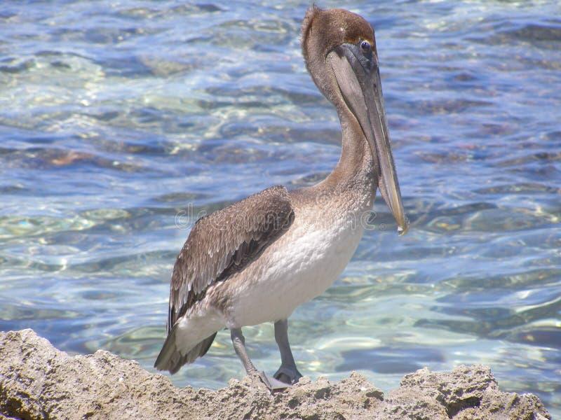 Pelikan, der aufpasst, wem lizenzfreies stockbild