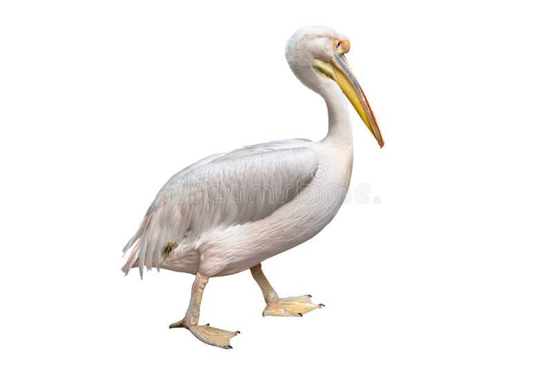 Pelikan lizenzfreie stockfotos