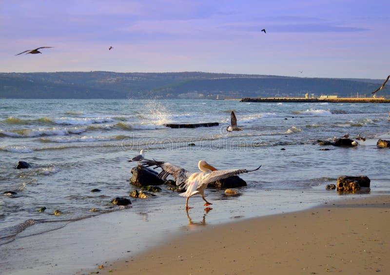 Pelikan, der Flügel auf Strand zur Schau stellt stockfoto