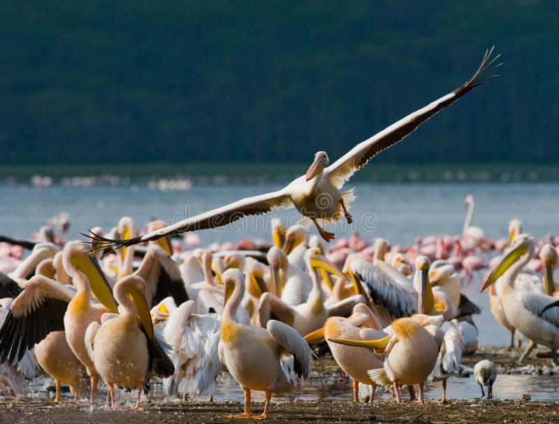 Pelikan, der niedrig über den See fliegt See Nakuru kenia afrika lizenzfreies stockbild