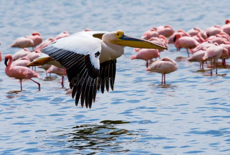 Pelikan, der niedrig über den See fliegt See Nakuru kenia afrika stockfotografie