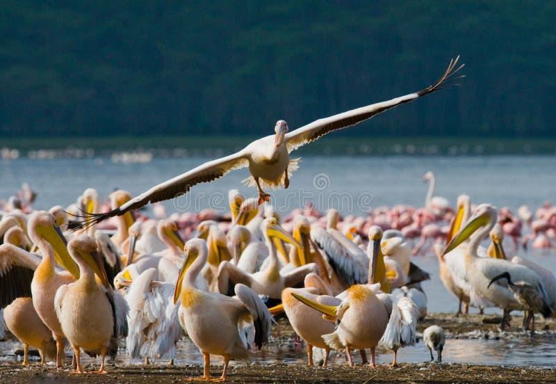 Pelikan, der niedrig über den See fliegt See Nakuru kenia afrika stockfoto