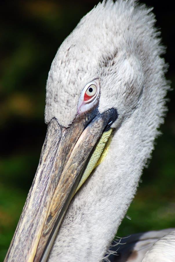 Pelikan, der am Projektorportrait überwacht lizenzfreie stockfotografie