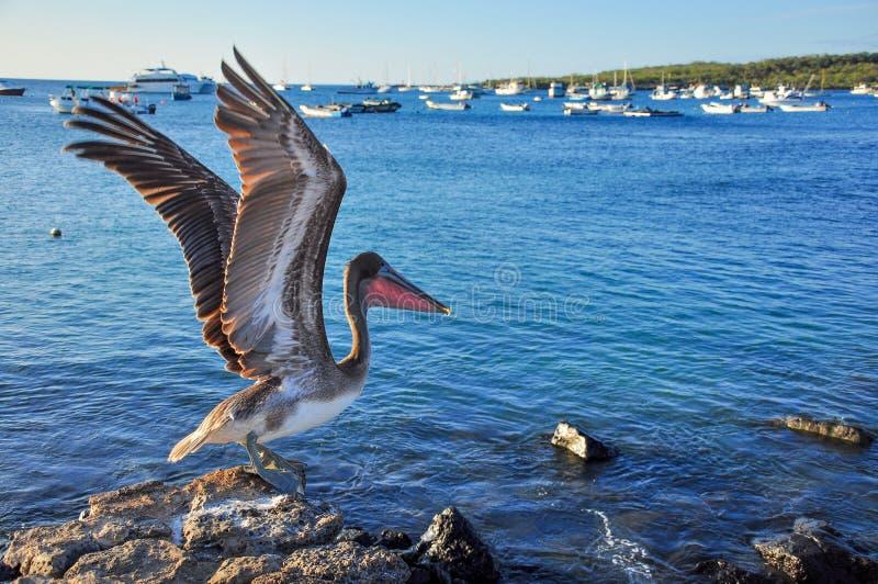 Pelikan, der von den Felsen sich entfernt stockfotografie
