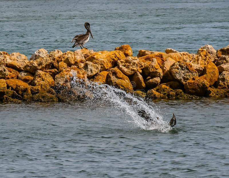 Pelikan Dive Bombing arkivfoto