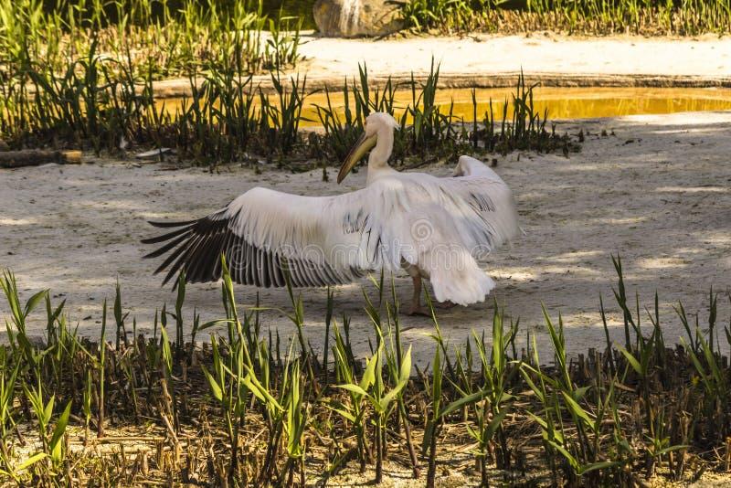 Pelikan`en s vilar arkivfoton