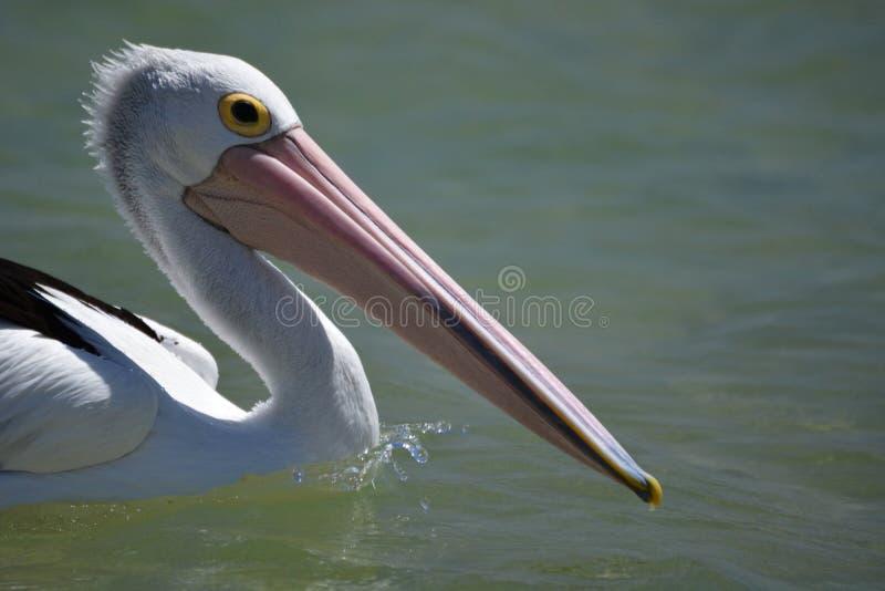 pelikan för christicloseupcorpuset fotograferade sydliga texas USA Apa Mia Hajfjärd Västra Australien arkivbilder