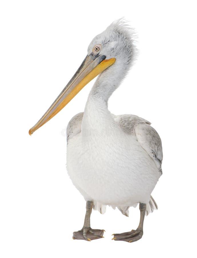 pelikan för pelecanus för 18 månader för crispus dalmatian arkivbild