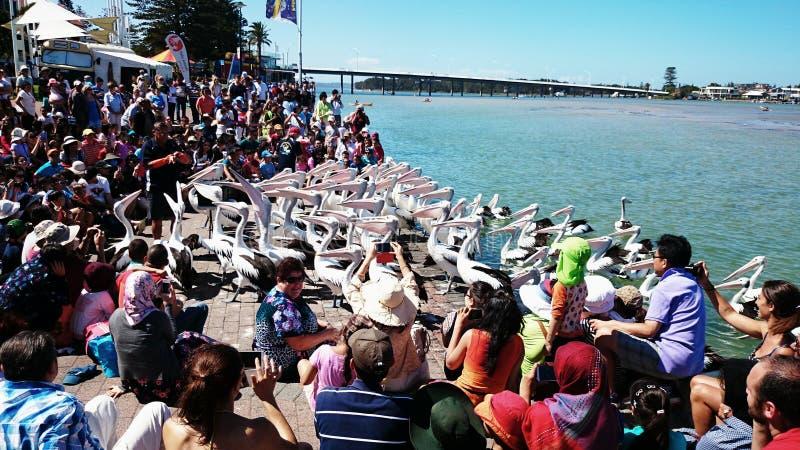 Pelikan-Fütterungsshow lizenzfreies stockbild